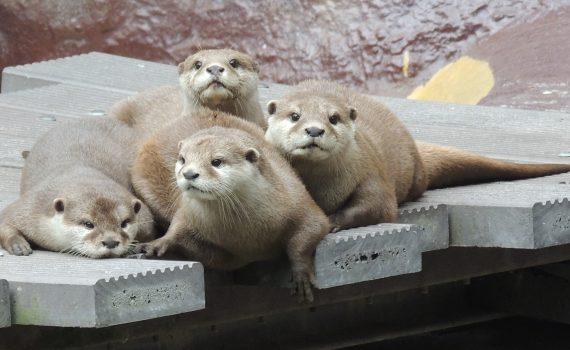 Zwergottergruppe Zoo Landau